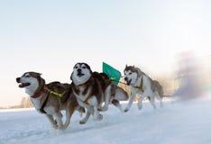 Raças no cão Fotografia de Stock