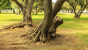 raíces Fotografía de archivo libre de regalías