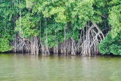 Raíces aéreas de los árboles de la selva tropical según lo considerado del río de Chavon, imágenes de archivo libres de regalías