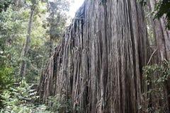 Raíces aéreas de un árbol grande del ficus en la selva Foto de archivo libre de regalías