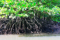 Raíces aéreas del árbol del mangle Foto de archivo
