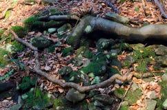 Raíces con las rocas Foto de archivo