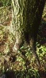 Raíces cubiertas de musgo del árbol Imagen de archivo libre de regalías