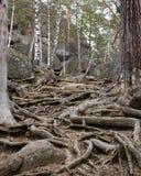 Raíces de árboles Imagen de archivo libre de regalías