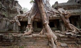 Raíces de Angkor Fotos de archivo