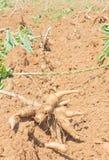 raíces de la mandioca Foto de archivo libre de regalías