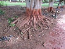 Raíces de un árbol Imágenes de archivo libres de regalías