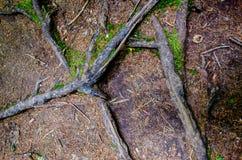 Raíces de un árbol Fotos de archivo