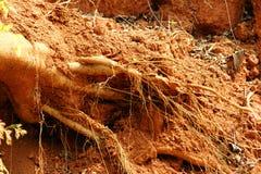 Raíces de un árbol caido Foto de archivo libre de regalías