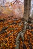 Raíces de un árbol con las hojas de otoño en Montseny Imagen de archivo