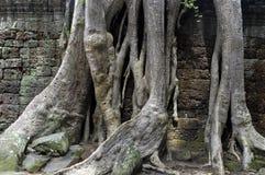Raíces de un árbol del algodón de seda en TA Prohm Fotografía de archivo