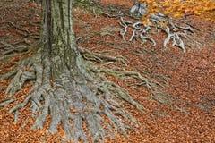 Raíces de un árbol en colores de la caída Fotografía de archivo libre de regalías