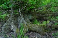 Raíces de un árbol en el bosque imagen de archivo