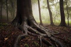 Raíces de un árbol en un bosque brumoso Fotos de archivo libres de regalías