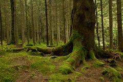 Raíces de un árbol grande con el musgo verde en un bosque de color verde oscuro cerca Fotos de archivo