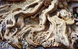 Raíces de un árbol viejo grande Foto de archivo libre de regalías