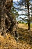 Raíces de un pino Fotos de archivo