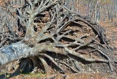 Raíces del árbol 3 Imagen de archivo libre de regalías