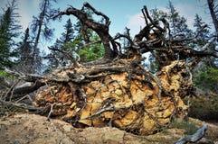Raíces del árbol caido Fotos de archivo libres de regalías