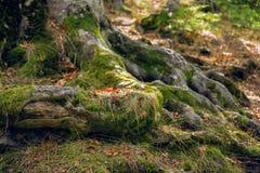Raíces del árbol con el musgo imágenes de archivo libres de regalías