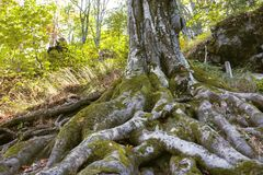 Raíces del árbol con el musgo fotos de archivo