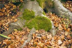 Raíces del árbol con el musgo imagen de archivo libre de regalías