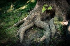 Raíces del árbol con la hierba verde Foto de archivo