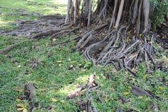 Raíces del árbol con la hierba verde fotografía de archivo libre de regalías