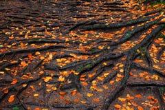 Raíces del árbol con las hojas de otoño anaranjadas en el bosque lluvioso imágenes de archivo libres de regalías