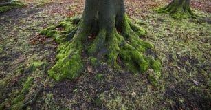 Raíces del árbol cubiertas en musgo Fotos de archivo