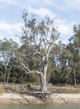 Raíces del árbol de goma Fotos de archivo libres de regalías