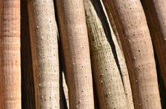 Raíces del árbol de pino de tornillo Imagenes de archivo