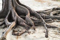 Raíces del árbol de pino en la playa Foto de archivo libre de regalías
