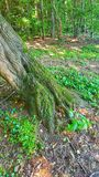 Raíces del árbol en bosque Imagen de archivo libre de regalías