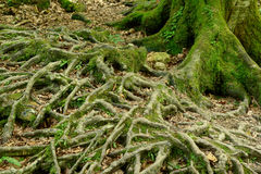 Raíces del árbol en bosque fotografía de archivo libre de regalías