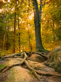 Raíces del árbol en fondo de la puesta del sol de la roca. Foto de archivo libre de regalías
