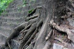 Raíces del árbol en piedra Fotos de archivo