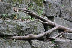 Raíces del árbol en piedra Imagenes de archivo