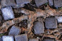 Raíces del árbol en piso Foto de archivo libre de regalías