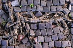 Raíces del árbol en piso Imagen de archivo libre de regalías