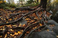 Raíces del árbol en rocas Fotos de archivo libres de regalías