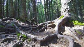 Raíces del árbol en un bosque mágico del pino almacen de metraje de vídeo