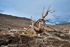 Raíces del árbol muerto Imágenes de archivo libres de regalías