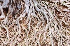 Raíces del árbol viejo, un caos asombroso fotos de archivo libres de regalías
