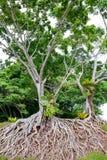 Raíces del árbol viejo, un caos asombroso foto de archivo