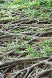 Raíces del Banyan con la hierba Imágenes de archivo libres de regalías