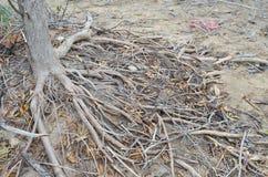 Raíces del bosque del mangle Imagen de archivo libre de regalías