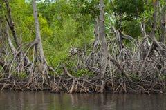Raíces del mangle Foto de archivo libre de regalías