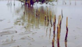 Raíces del mangle en la playa Imágenes de archivo libres de regalías