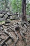 Raíces del pino Foto de archivo